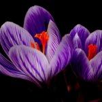 fioletowe krokusy