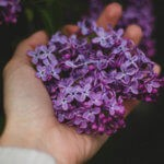 fioletowe bzy